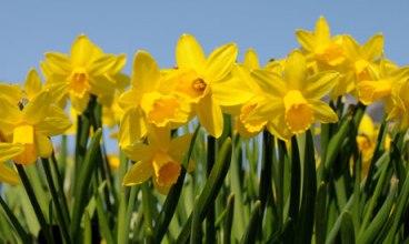 St-Davids-Day-daffodils-007
